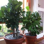 2 leafy green plants in planters